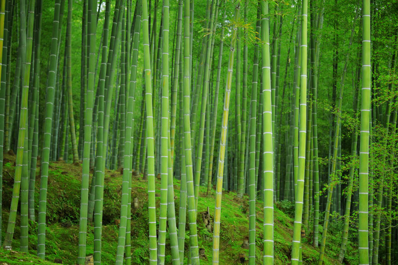 wild chinese bamboo forest